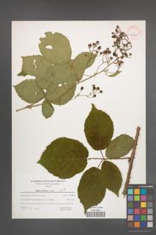Rubus silesiacus [KOR 39661]