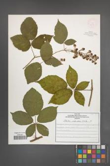 Rubus silesiacus [KOR 52089]
