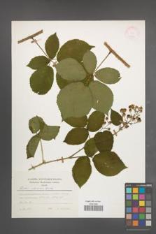 Rubus silesiacus [KOR 24789]