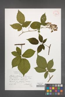 Rubus silesiacus [KOR 39086]