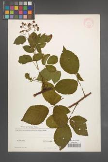 Rubus sprengelii [KOR 11012]