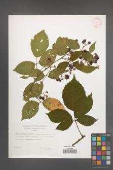 Rubus sprengelii [KOR 29402]