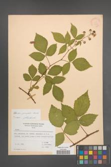 Rubus sprengelii [KOR 21754]