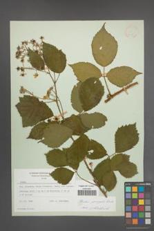 Rubus sprengelii [KOR 21753]