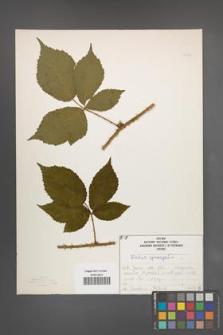 Rubus sprengelii [KOR 50193]