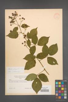 Rubus sprengelii [KOR 8689]