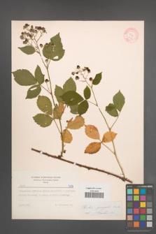 Rubus sprengelii [KOR 7174]
