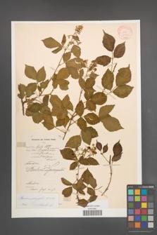 Rubus sprengelii [KOR 10991]