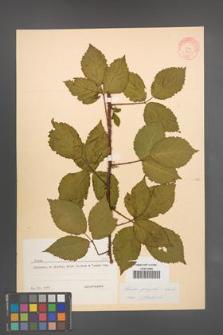 Rubus sprengelii [KOR 8731]