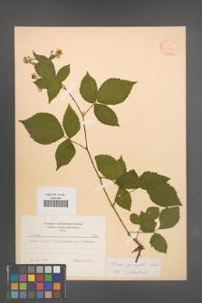 Rubus sprengelii [KOR 8727]