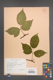 Rubus sprengelii [KOR 54488]