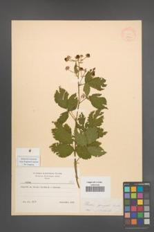 Rubus sprengelii [KOR 8740]