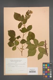 Rubus sprengelii [KOR 23455]