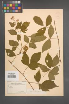 Rubus sprengelii [KOR 18626]