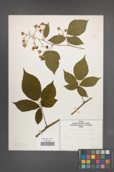 Rubus sprengelii [KOR 50072]
