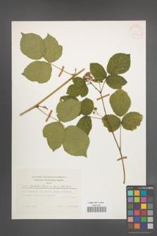 Rubus spribillei [KOR 24802]