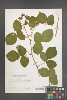 Rubus spribillei [KOR 54494]