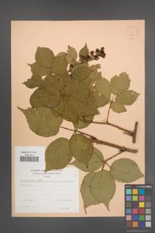 Rubus sulcatus [KOR 22962]