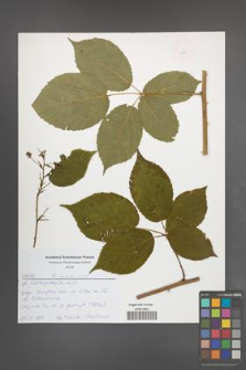 Rubus sulcatus [KOR 52574]