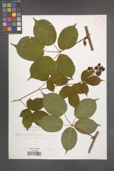 Rubus sulcatus [KOR 29520]