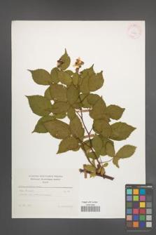 Rubus sulcatus [KOR 25625]