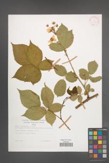 Rubus sulcatus [KOR 29195]