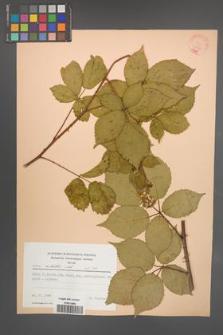 Rubus sulcatus [KOR 22778]