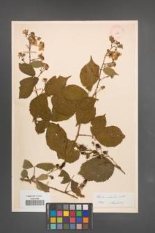 Rubus sulcatus [KOR 11034]
