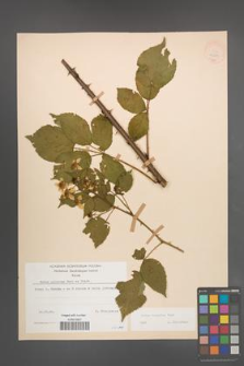 Rubus sulcatus [KOR 22213]