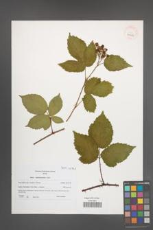 Rubus tabanimontanus [KOR 40722]