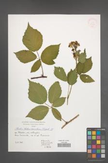 Rubus tabanimontanus [KOR 39985]