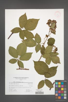 Rubus tabanimontanus [KOR 41752]