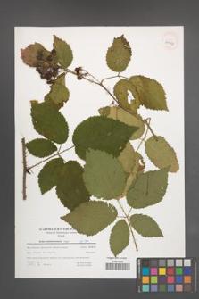 Rubus tabanimontanus [KOR 39653]