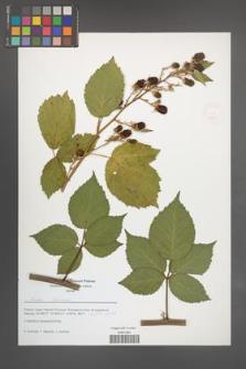 Rubus [KOR 51622]