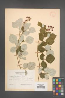 Rubus triphyllus [KOR 18632]