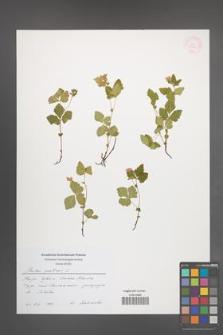 Rubus arcticus [KOR 54471]