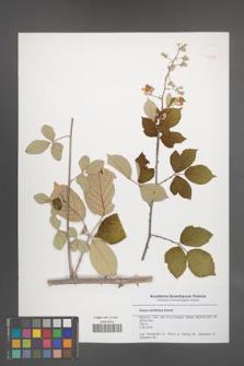 Rubus ulmifolius [KOR 50596]