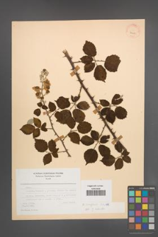 Rubus ulmifolius [KOR 24417]