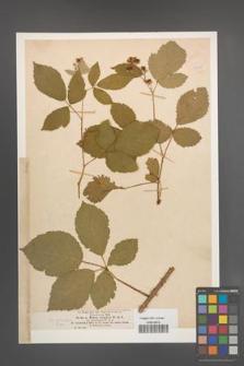Rubus vulgaris [KOR 18648]