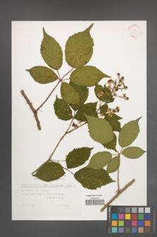 Rubus wimmerianus [KOR 32405]