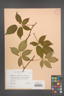 Rubus wimmerianus [KOR 24359]