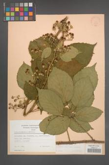 Rubus wimmerianus [KOR 22792]