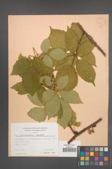 Rubus wimmerianus [KOR 22753]