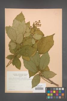 Rubus wimmerianus [KOR 23005]