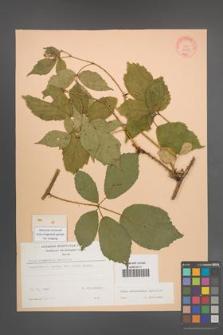 Rubus wimmerianus [KOR 22935]