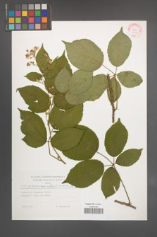 Rubus wimmerianus [KOR 29277]