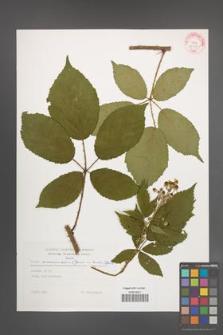 Rubus wimmerianus [KOR 29279]