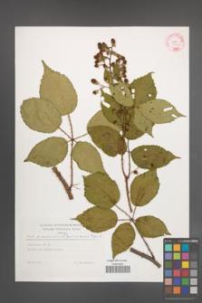 Rubus wimmerianus [KOR 29269]