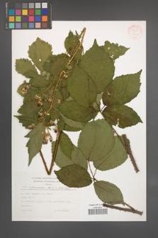 Rubus wimmerianus [KOR 54543]