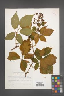 Rubus wimmerianus [KOR 30024]